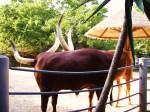 akoya-cattle
