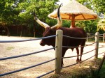 akoye-cattle