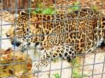 big-leopard