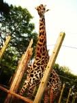 giraffe-full